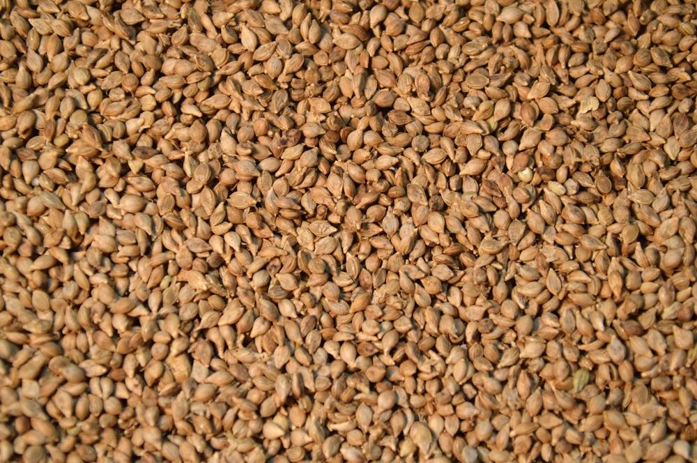 Brown Top Millet