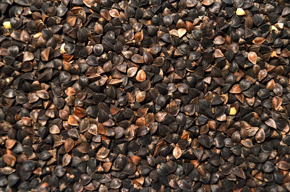 Buckwheat (Mancan)